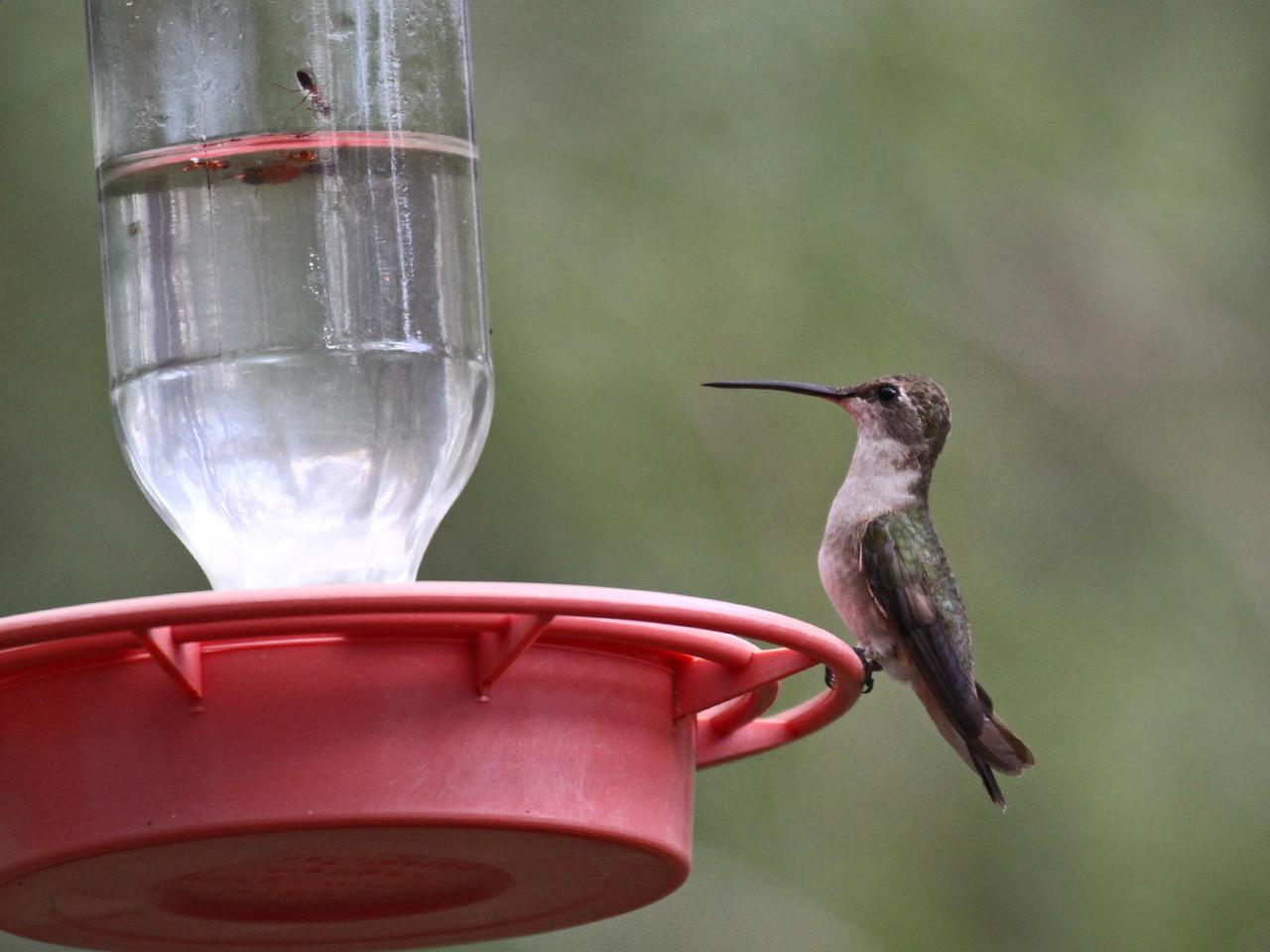 Black-chinned Hummingbird - Frontera Audubon Sanctuary
