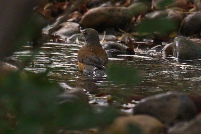 Rufous-backed Robin - Laguna Atascosa NWR Rare Bird in USA