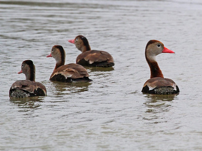 Black-bellied Whistling-duck - Estero Llano Grande State Park
