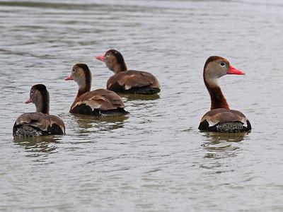 Black-bellied Whistling-duck - Estero Llano Grande State Park