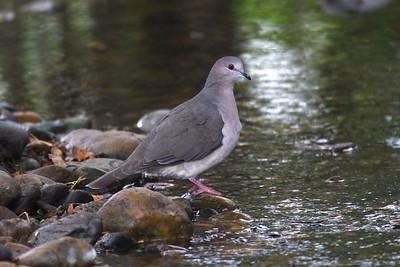 White-tipped Dove - Laguna Atascosa NWR