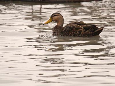 Mottled Duck - Estero Llano Grande State Park