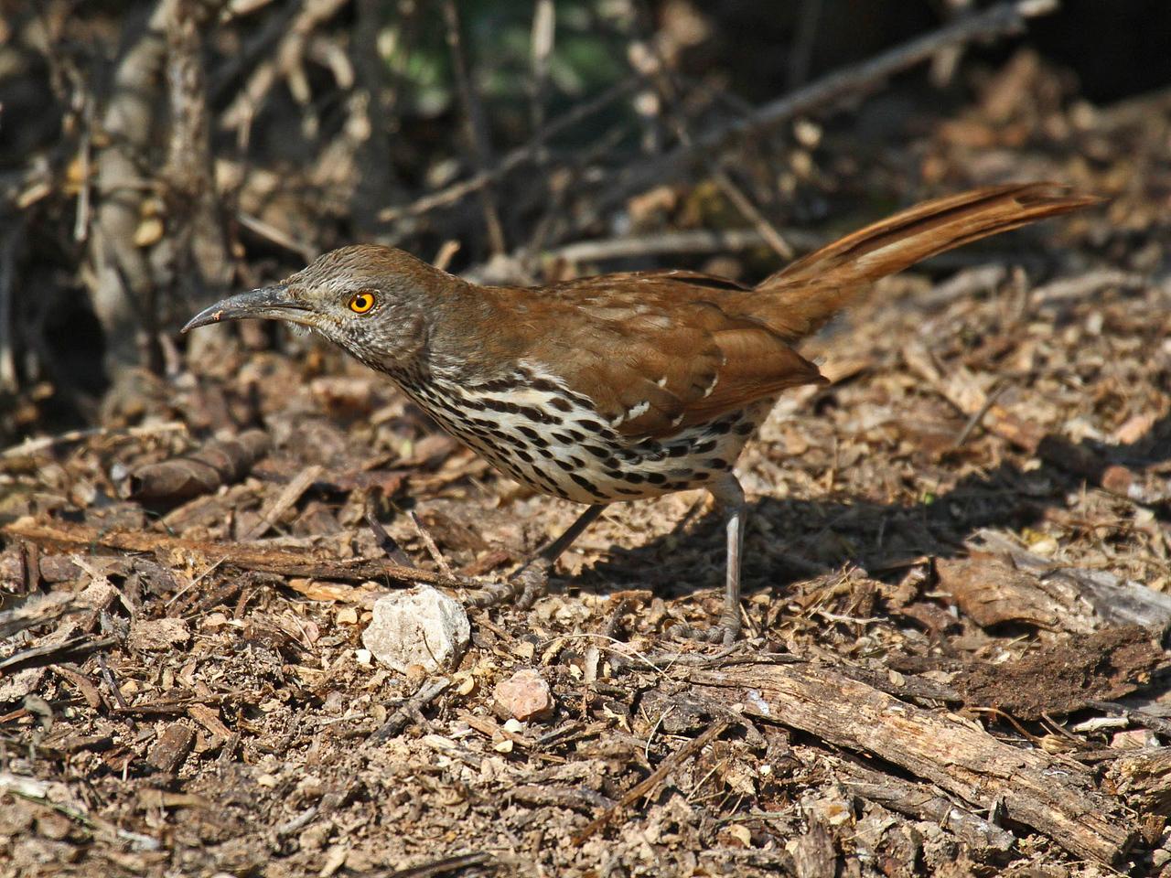 Long-billed Thrasher - Frontera Audubon Sanctuary