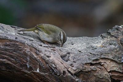 Olive Sparrow - Laguna Atascosa NWR