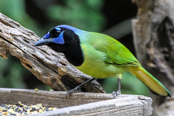 Texas Rio Grande Valley Birding