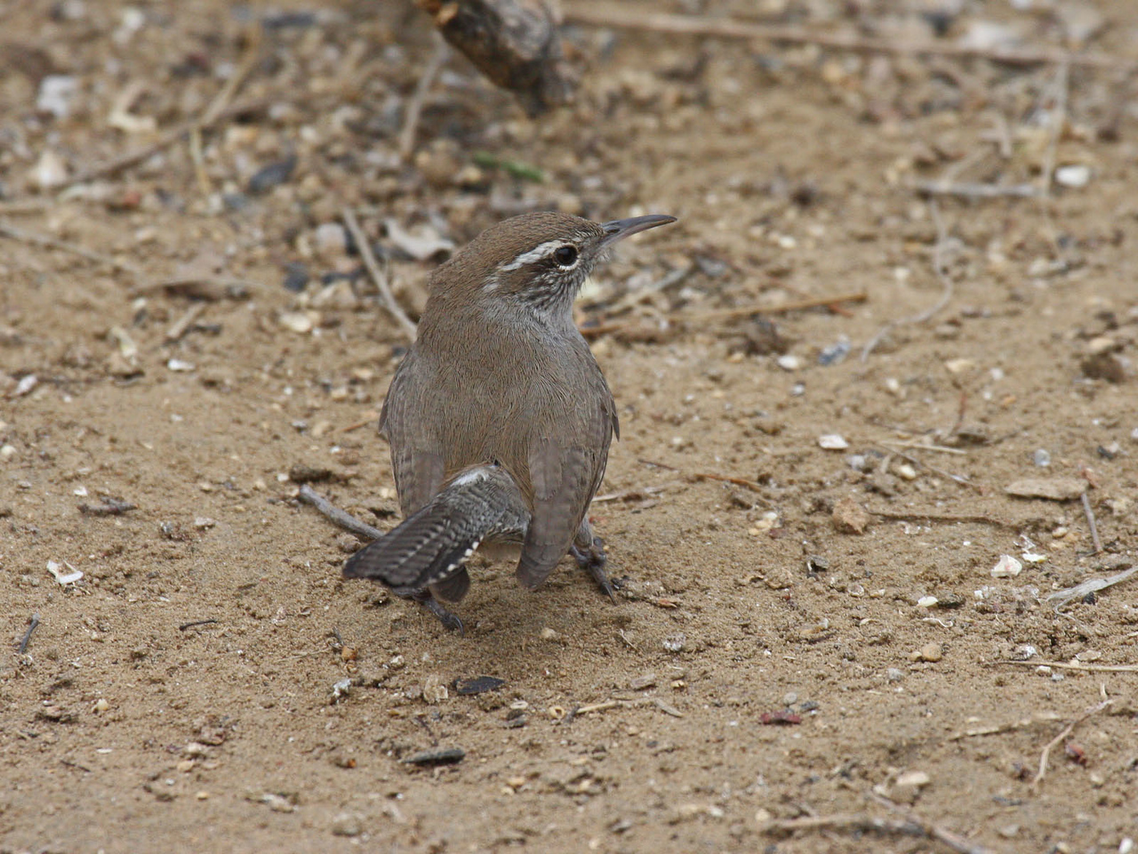 Bewick's Wren - Falcon Lake State Park,  between Roma and Zapata, TX