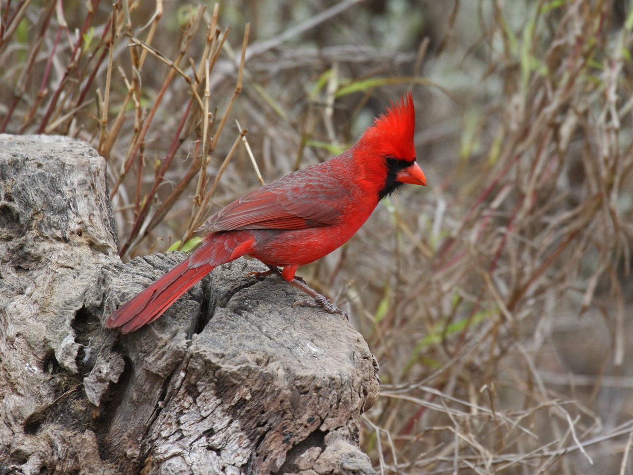 Northern Cardinal - Falcon Lake State Park,  between Roma and Zapata, TX