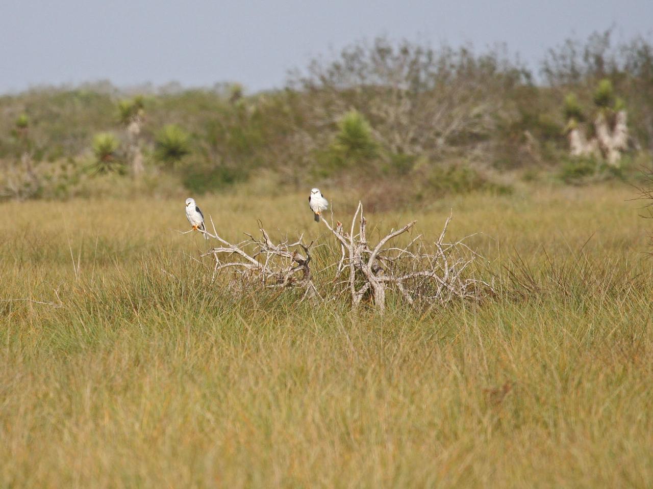 White-tailed Kites - Laguna Atascosa NWR  near Rio Hondo, TX