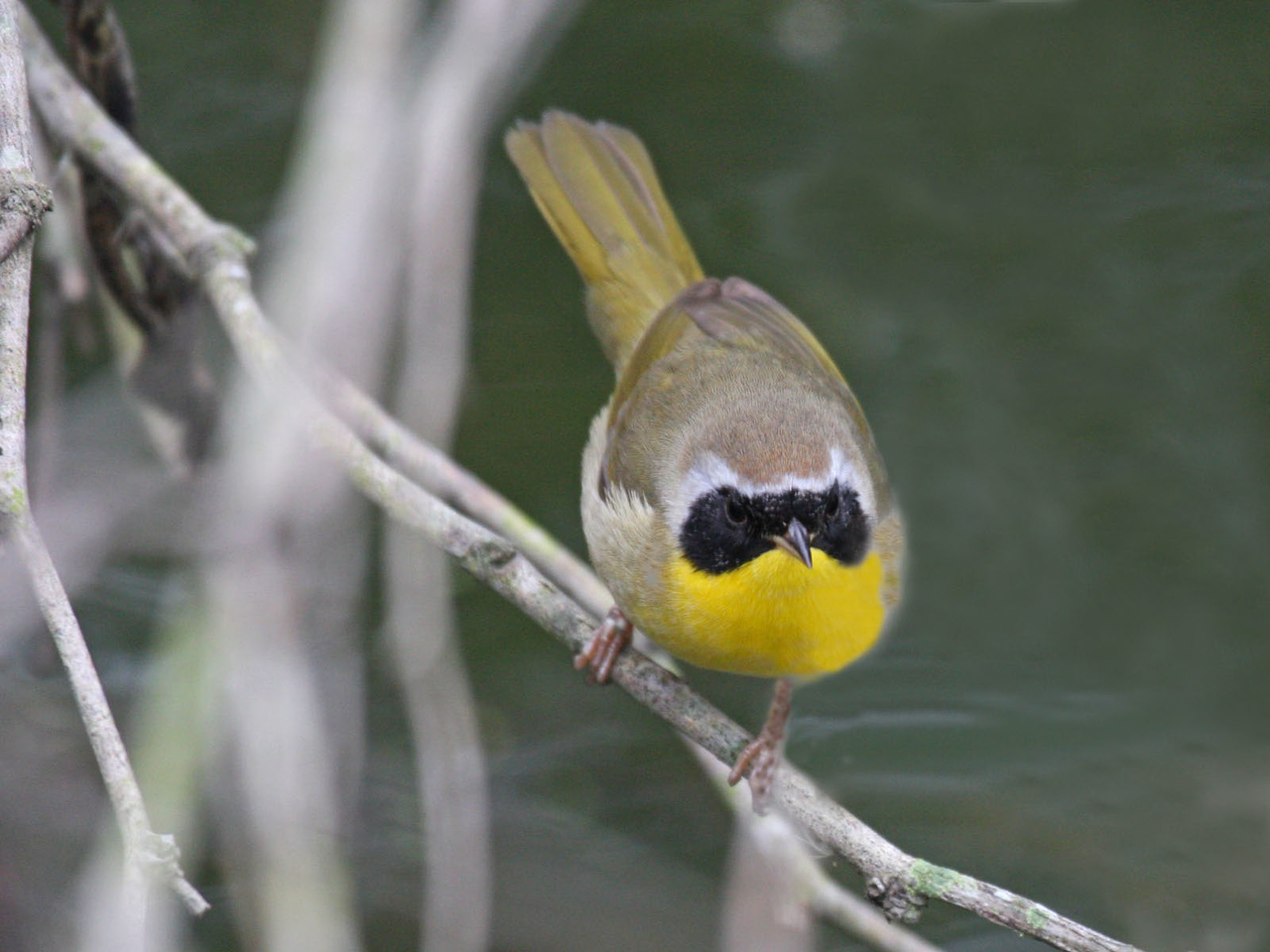 Common Yellowthroat - Edinburg Scenic Wetlands Center - 