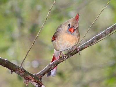 Northern Cardinal - Santa Ana NWR - Pharr, TX