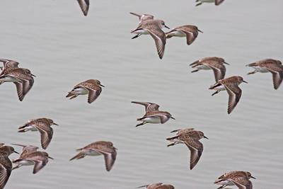 Semipalmated Sandpiper - Edinburg Scenic Wetlands Center - Edinburg, TX