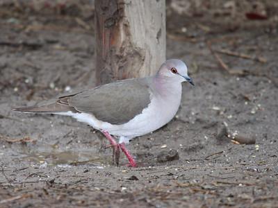 White-tipped Dove - Bentsen Rio Grande Valley State Park - Mission, TX