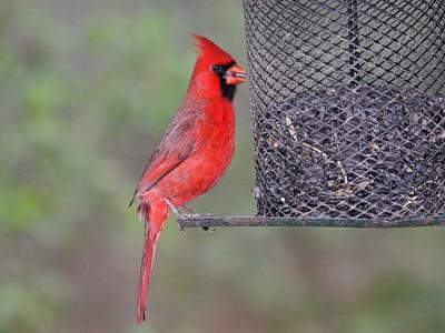 Northern Cardinal - Bentsen Rio Grande Valley State Park - Mission, TX