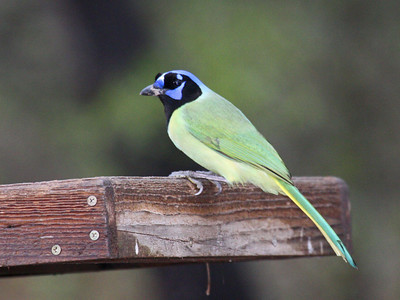 Green Jay  - Bentsen Rio Grande Valley State Park - Mission, TX