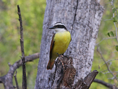 Great Kiskadee - Salineno Tract - Lower Rio Grande Valley NWR,  Salineno, TX