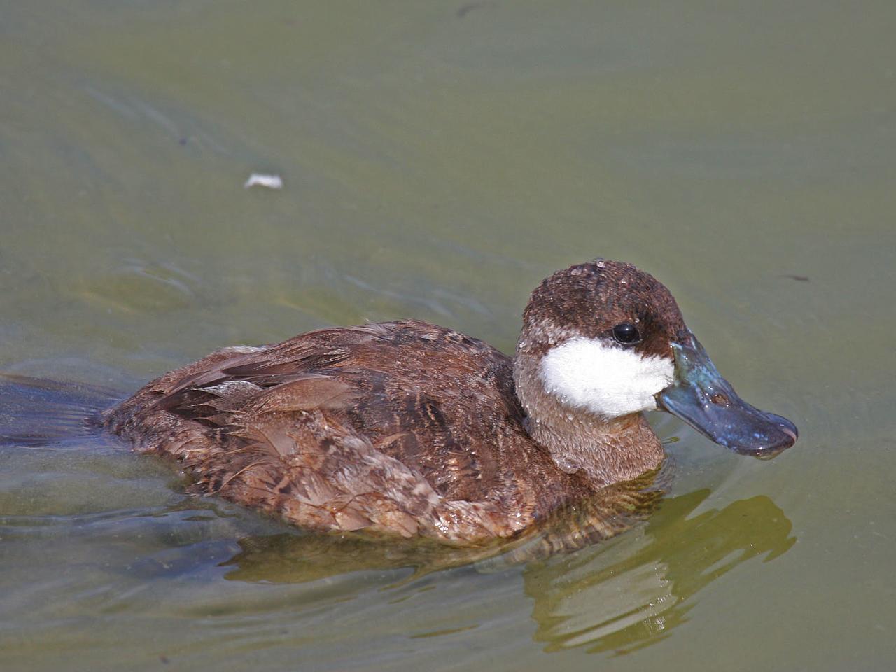 Ruddy Duck - Port Aransas Birding Center, Port Aransas, TX