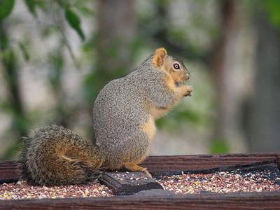 Squirrel - Bentsen Rio Grande Valley State Park - Mission, TX