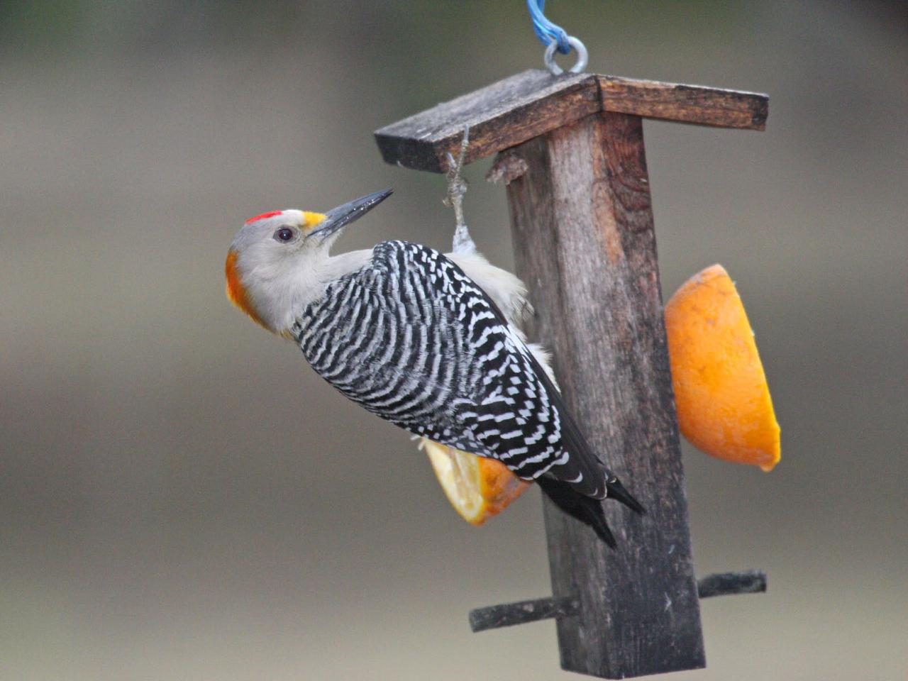 Golden-fronted Woodpecker - Bentsen Rio Grande Valley State Park - Mission, TX