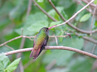 Buff-bellied Hummingbird - Edinburg Scenic Wetlands Center - Edinburg, TX