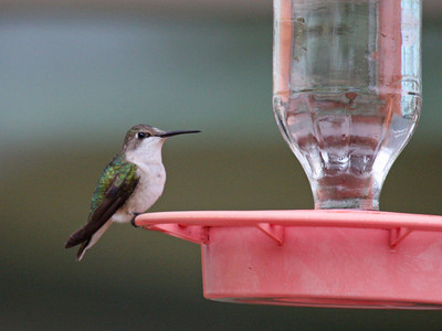 Black-chinned Hummingbird - Edinburg Scenic Wetlands Center - Edinburg, TX