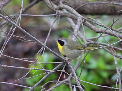 Common Yellowthroat - Edinburg Scenic Wetlands Center -  Edinburg, TX