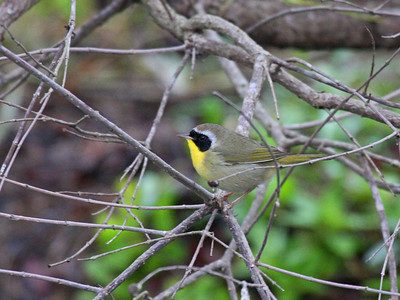 Common Yellowthroat - Edinburg Scenic Wetlands Center -  Edinburg, TX
