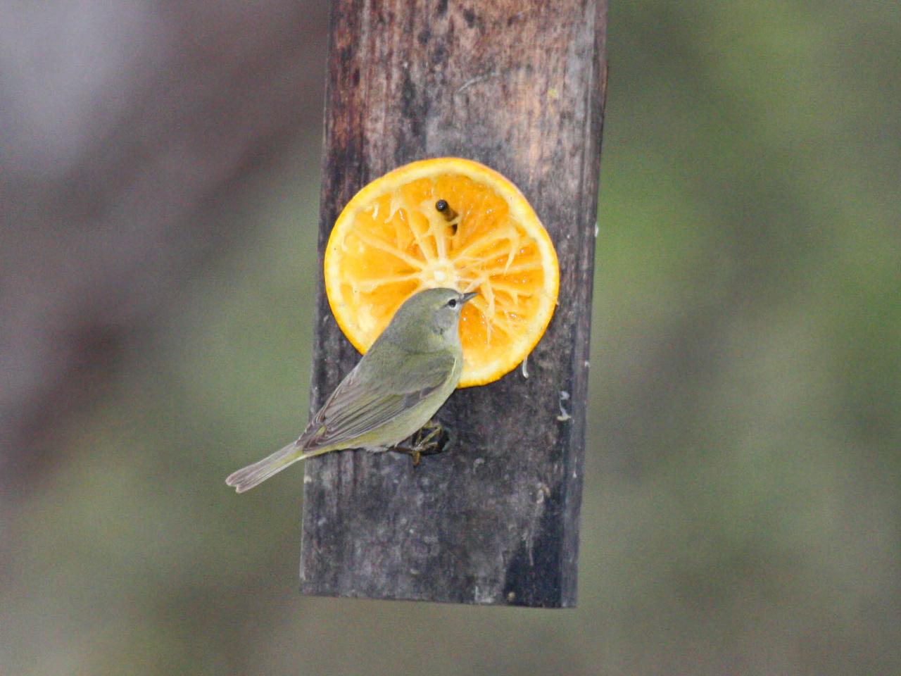 Orange-crowned Warbler - Bentsen Rio Grande Valley State Park - Mission, TX