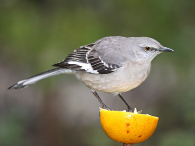 Northern Mockingbird - Santa Ana NWR - Pharr, TX