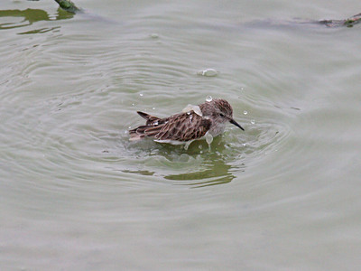 Semipalmated Sandpiper - Edinburg Scenic Wetlands Center - Edinburg, TX