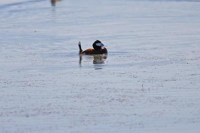 Ruddy Duck - Male
