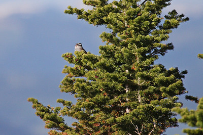White-crowned Sparrow - Singing