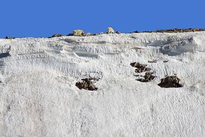 Mountain Goats at Summit