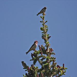 Cassin's Finch & Pine Siskins