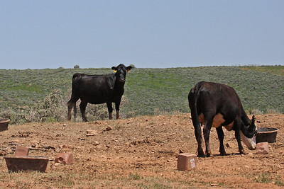 Cattle on Deseret Ranch