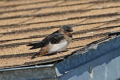 Baby Cliff Swallow