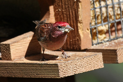 Cassin's Finch - Male