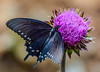 Pipevine Swallowtail on Wildflower