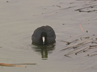 American Coot - Birding Center - Port Aransas, TX