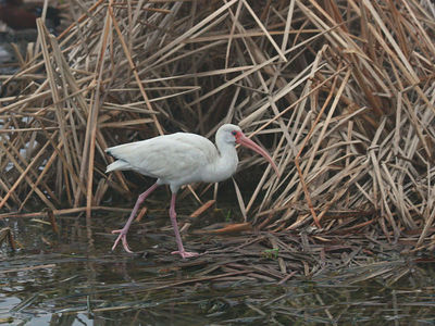 White Ibis - Birding Center - Port Aransas, TX