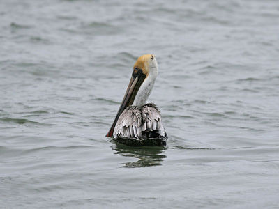 Brown Pelican - Fulton, TX
