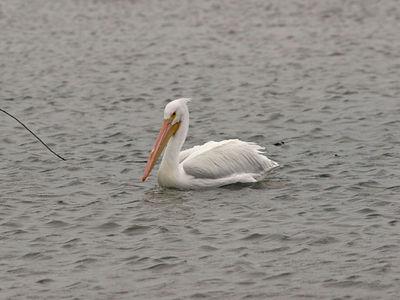 American White Pelican - Fulton, TX
