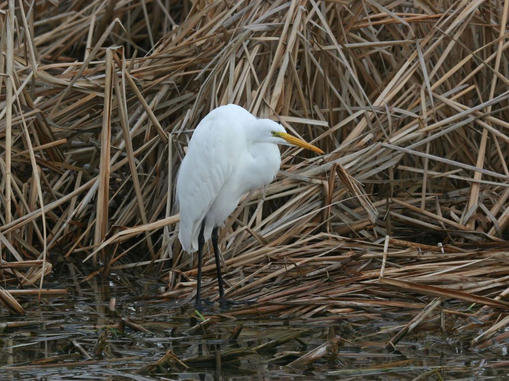 Great Egret - Birding Center - Port Aransas, TX
