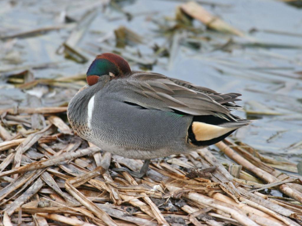 Green-winged Teal - Birding Center - Port Aransas, TX