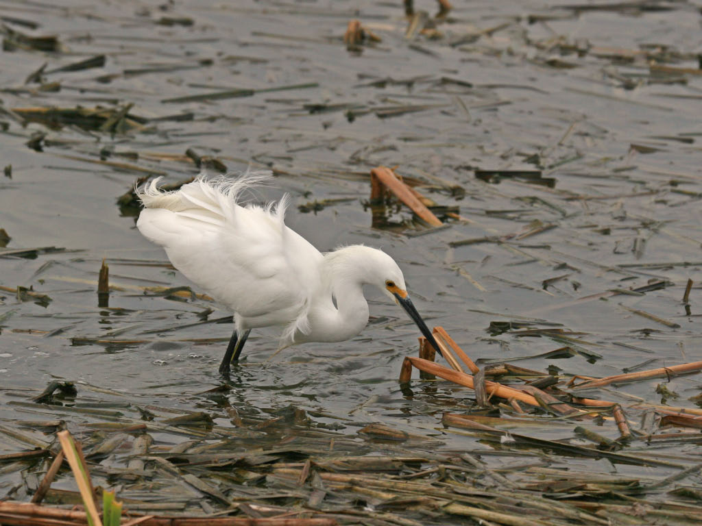 Snowy Egret - Birding Center - Port Aransas, TX