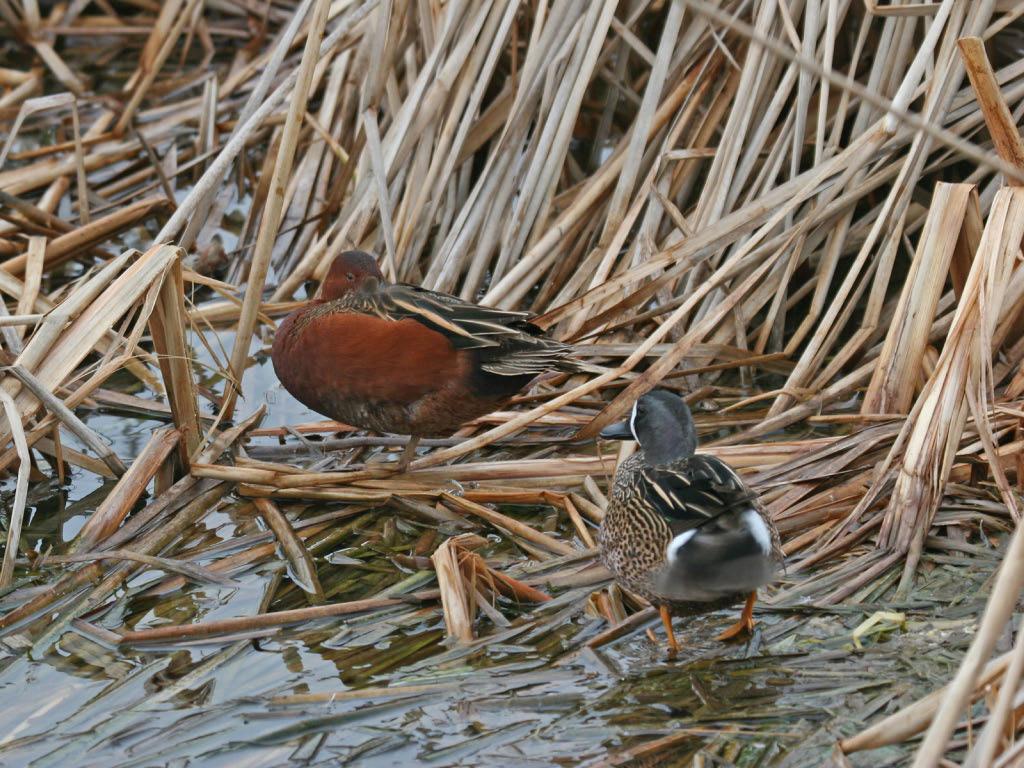 Cinnamon  & BW Teal - Birding Center - Port Aransas, TX