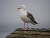 Western Gull, Half Moon Bay