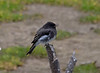 Black Phoebe, Point Pinos
