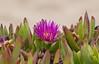 Half Moon Bay Flowering plant