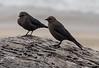 Brownheaded Cowbirds, Half Moon Bay
