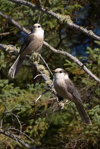 Pair of Gray Jays